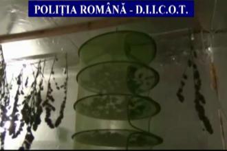 Captura de 50 de kilograme de canabis, in Sibiu. Trei cetateni straini dusi la audieri pentru cultivare si trafic de droguri