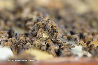 Un barbat a murit dupa ce a fost atacat de 800.000 de albine deranjate de zgomotul unei masini de tuns iarba