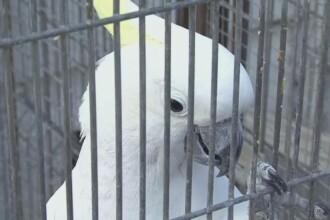 Si-a gasit papagalul vorbitor de limba engleza dupa patru ani de cautari. Primele cuvinte ale pasarii. VIDEO