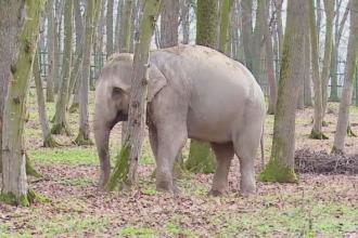 Noua atractie la Gradina Zoologica din Targu Mures. Femela elefant va avea companie, dupa ce a trecut printr-o depresie