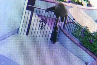 Doi ursi pusi pe fuga de un buldog francez. Cum a reusit catelul sa fugareasca animalele de cinci ori mai mari, din curte