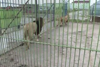 Dupa ce au trait ultimii 2 ani intr-o cusca de cativa metri patrati, leii de la ZOO Baia Mare vor avea o batranete linistita