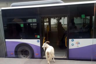 Un tap a vrut sa se plimbe cu autobuzul prin viitoarea Capitala Culturala Europeana. In ce statie s-a asezat