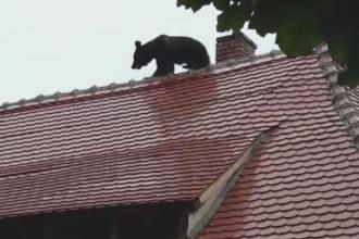 Proteste in toata tara fata de cruzimea cu care a fost ucis ursul ratacit din Sibiu. De ce a fost incinerat imediat