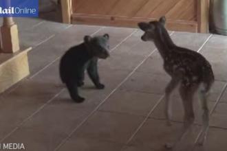 Un pui de urs timid a ajuns vedeta pe internet. Cum a decurs intalnirea lui cu un pui de caprioara