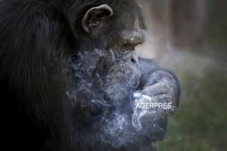 Cimpanzeul gradinii zoologice din Coreea de Nord