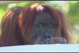 Zi de sarbatoare la gradina zoologica din Perth, Australia. Puan, o femela urangutan, a implinit 6 decenii de viata