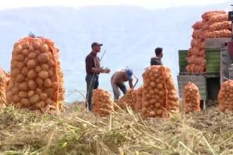 """De ce nu muncesc oamenii la recoltele de pe câmp: """"E mai uşor să stai acasă"""""""