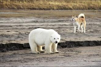 Un pui de urs polar a fost salvat după ce s-a rătăcit de mama sa. Unde a fost dus