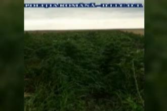 Canabis, cultivat în spatele casei. Două persoane, arestate pentru 30 de zile
