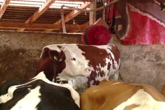 16 persoane au ajuns la spital, după ce au tăiat o vacă depistată cu rabie. Ce spun medicii