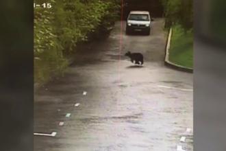 O ursoaică cu 3 pui a apărut într-o zonă de supermarketuri din Braşov. Martorii au sunat la 112