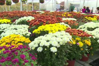 Afacerile cu crizanteme, profitabile în această perioada din an. Investiţiile sunt pe măsură veniturilor
