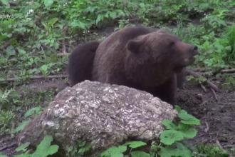 Bărbat atacat de un urs în Braşov. Are multe plăgi muşcate la mâini şi picioare