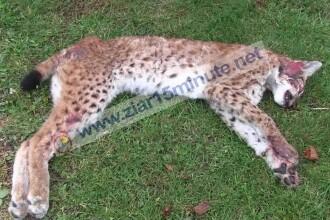 Animale sălbatice, lovite de mașini după montarea parapeților pe DN1