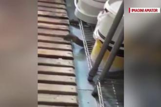 Caz revoltător la o cofetărie din Brăila. Mai mulţi şobolani au fost filmaţi în laborator