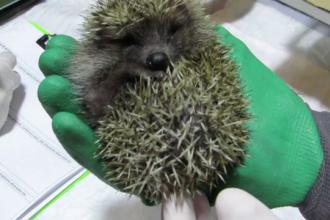 Recomandările veterinarilor pentru cei care găsesc în această perioada pui de arici
