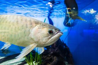 Un peşte din Asia costă sute de mii de dolari şi este păzit de gardieni înarmaţi