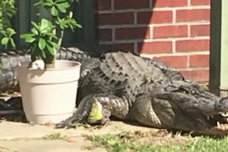 Un american s-a trezit cu aligatorul la ușă