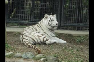 Bărbat ucis de un tigru alb, la ZOO. De ce intrase în cuşca animalului