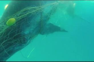 Un pui de balenă a fost salvat după ce se încurcase într-o plasă anti-rechini