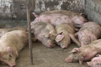 Despăgubiri mici după pestă. Afacerea de care s-a apucat un fermier rămas fără porci