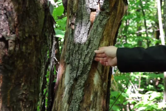 Specialiștii au găsit leac pentru cancerul castanului. Ciuperca s-a extins rapid în pădurile din România