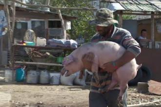 Testul împotriva pestei-porcine: porcii-santinelă trebuie să supraviețuiască 45 de zile