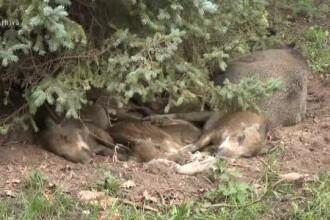 Recompense de sute de lei pentru cei care anunță unde sunt porci morți. Cu o condiție