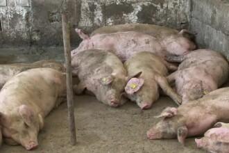 Pesta porcină africană, confirmată într-o comună din Vrancea. Porcii au fost sacrificați