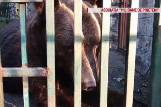 Ținut în captivitate toată viața, un urs de la Grădina Zoologică din Neamţ va fi eliberat în natură