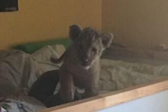 Pui de leu, găsit într-un pat de bebeluş. Proprietarul său era în dulap