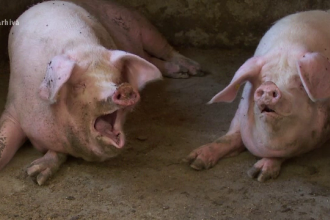 Alertă la Arad, după ce a fost găsit un porc mort între blocuri