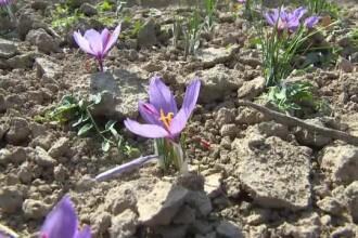 Se cultivă în România și pleacă la export.