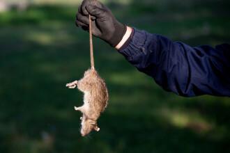 Șobolanii canibali îi sperie pe americani. Situația apărută din cauza pandemiei