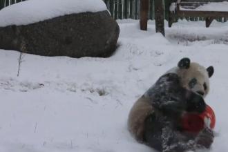 Cum s-au bucurat doi urși panda de prima zăpadă a anului