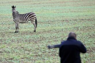 O zebră scăpată de la circ a fost împușcată de poliție. Ce le-a făcut unor şoferi