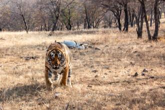 O femeie din Nepal a fost ucisă de un tigru