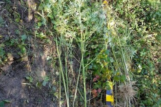 Locul din România unde DIICOT a găsit plante de canabis de 4 metri înălţime