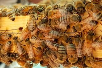 Roiurile de albine în orașe. Cum integrăm cea mai valoroasă specie în viața cotidiană