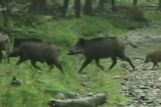 Pesta porcină continuă să facă ravagii. Mii de porci au fost sacrificați în Satu Mare