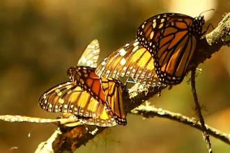Fluturii mutanţi care mănâncă plante otrăvitoare. Cum au evoluat