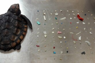 Un pui de broască țestoasă a murit după ce a înghițit 104 bucăți de plastic