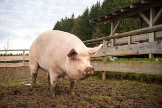 China a început să crească porci giganți, care pot atinge dimensiunile urșilor polari