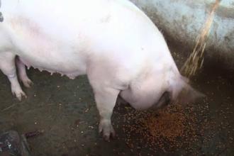 O femeie a murit după ce a fost atacată de porcul din gospodărie. Animalul i-a mâncat mâna