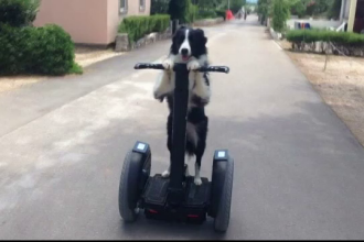 Un collie face spectacol în Croația. Știe matematică și poate să călărească