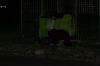 Teroare într-un sat din Mureș. Masacrul făcut de un urs furios care intră în case