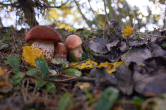 Ciuperci radioactive în Bavaria, la 30 de ani de la dezastrul de la Cernobîl
