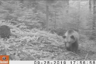 Reacția unui urs când descoperă camera de monitorizare din pădure, în Apuseni. VIDEO