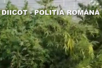Peste 160 kg de canabis, găsite de poliția din Oradea. Unde erau crescute plantele